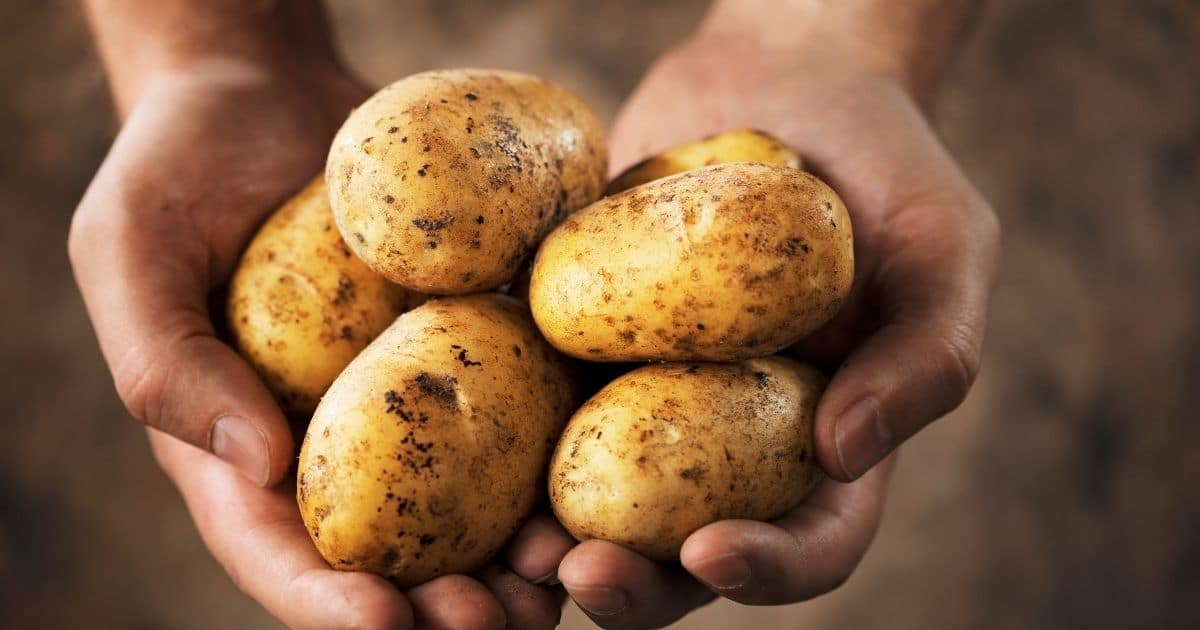 Whole unpeeled potatoes in someone hands