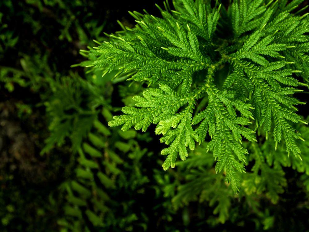 Selaginella (3)