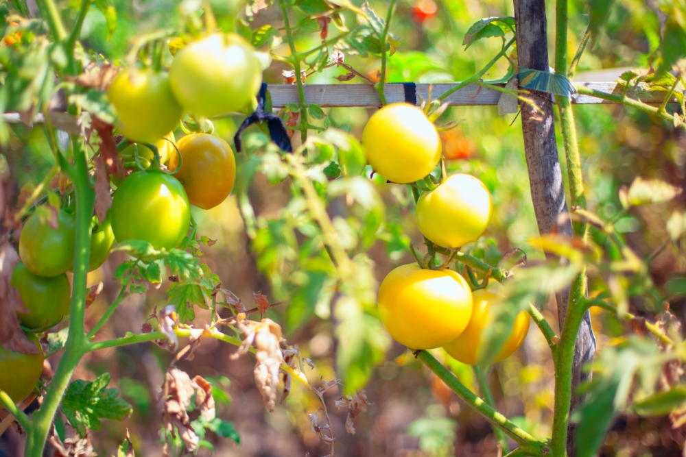 What makes tomato leaves turn yellow
