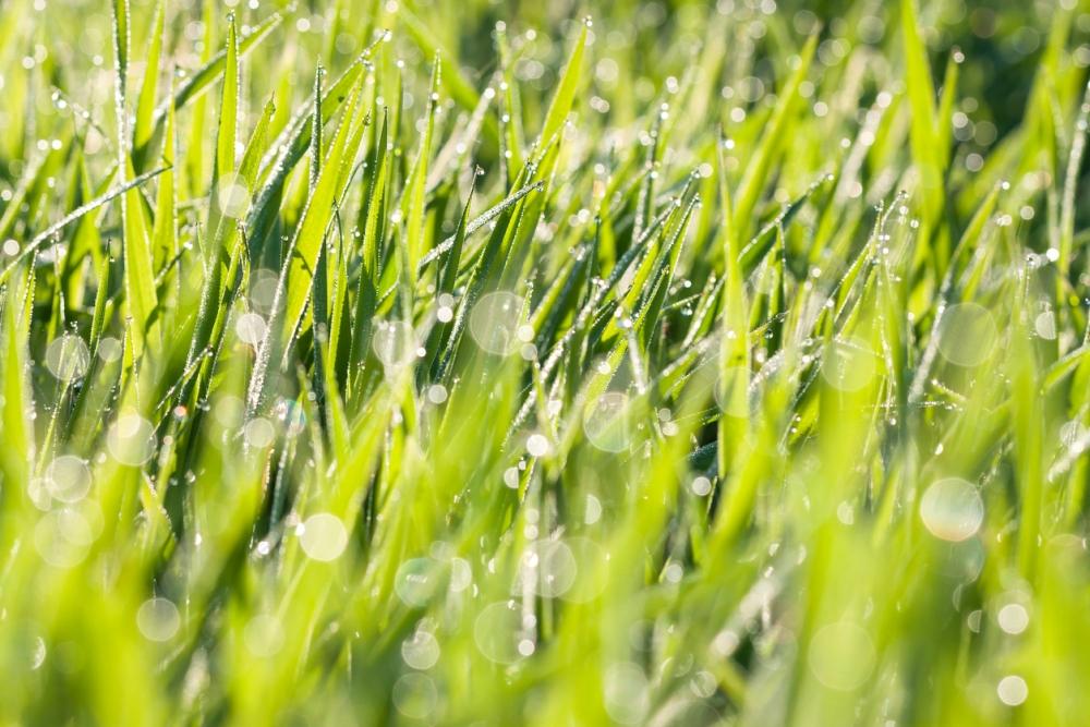 Wheatgrass care