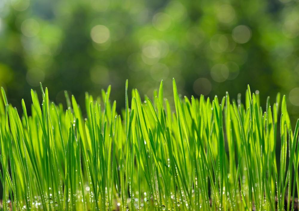 Wheatgrass tips