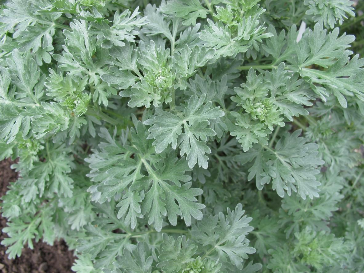 Wormwood herb care