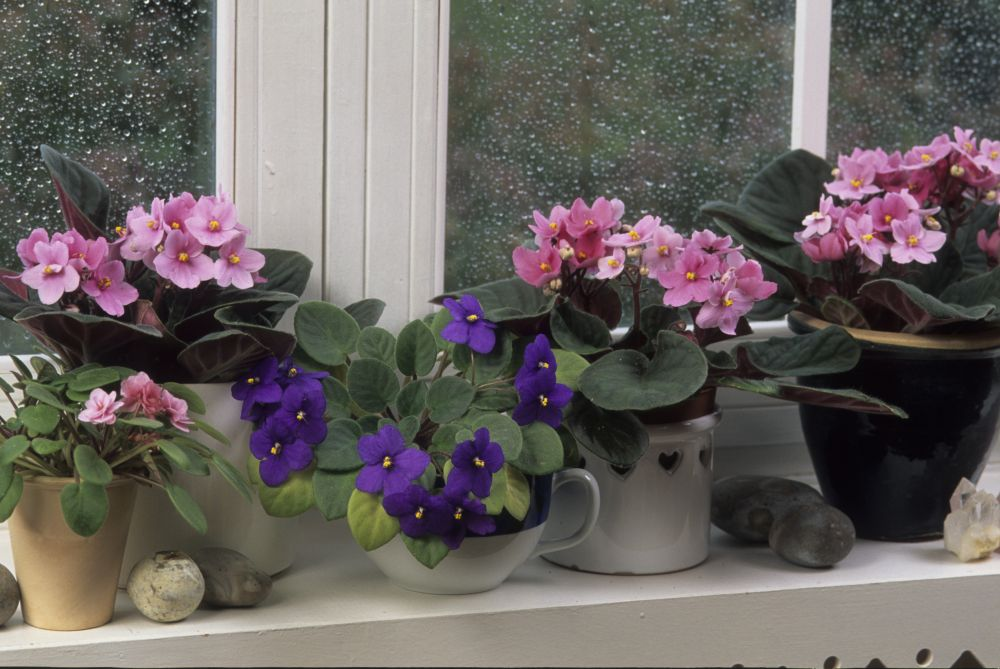 African violet growth