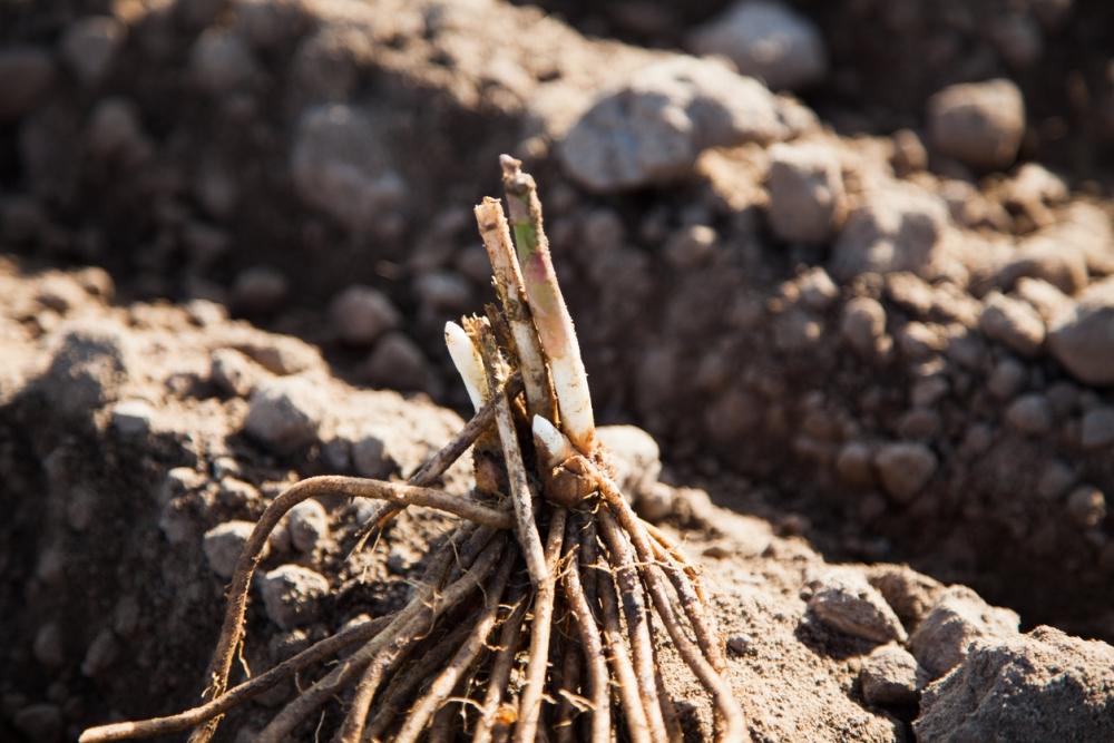 Asparagus growing problem