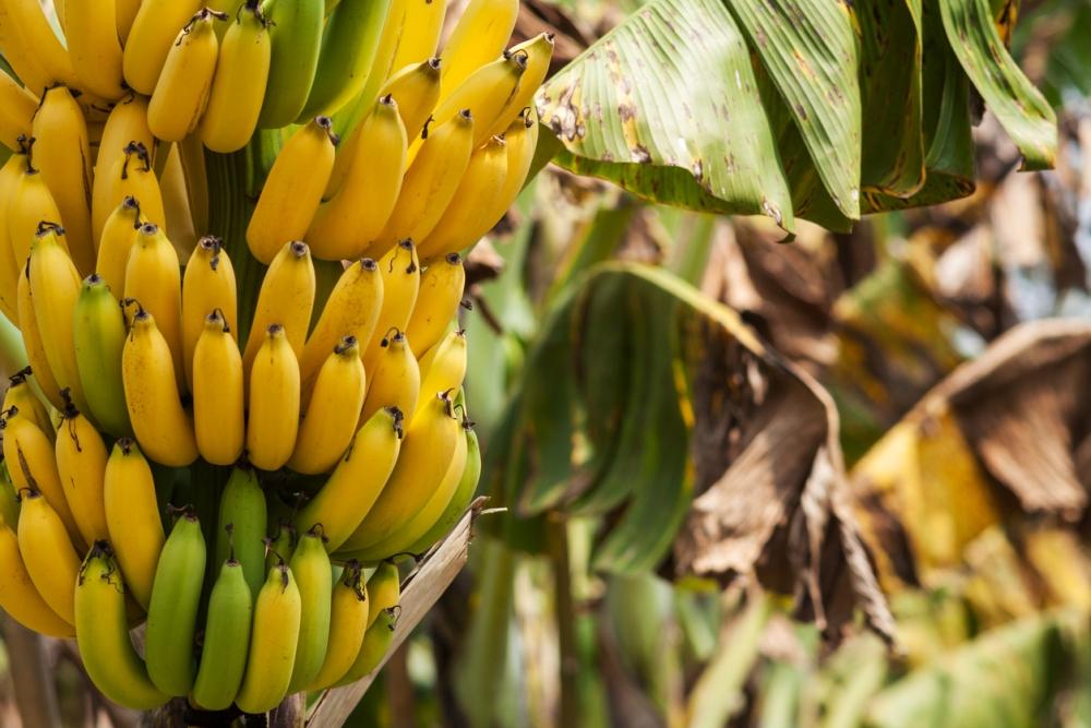 Banana Growing Problems