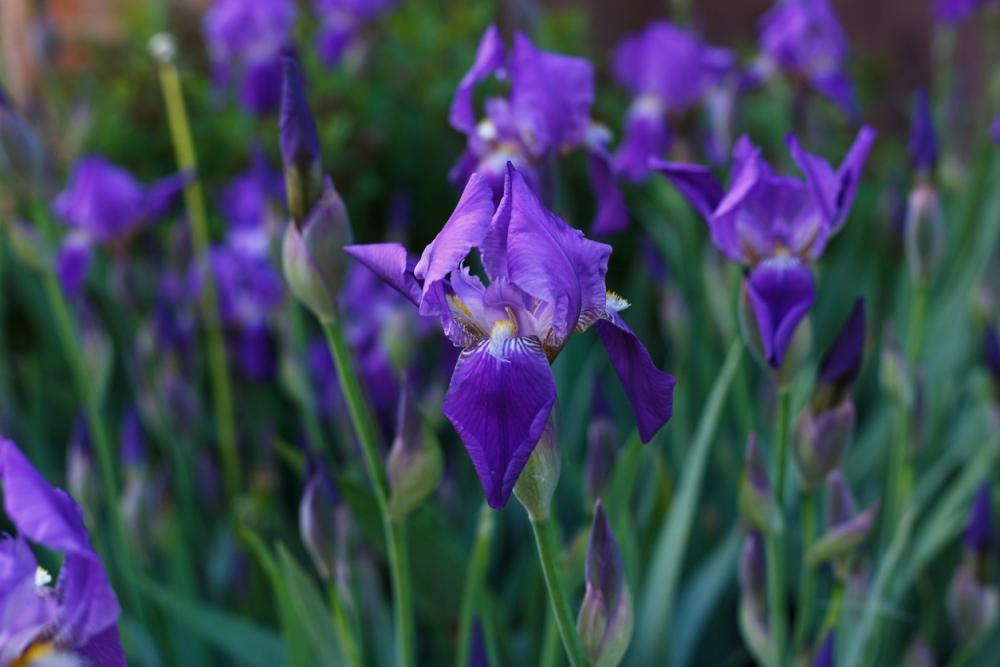 Blue iris plant care
