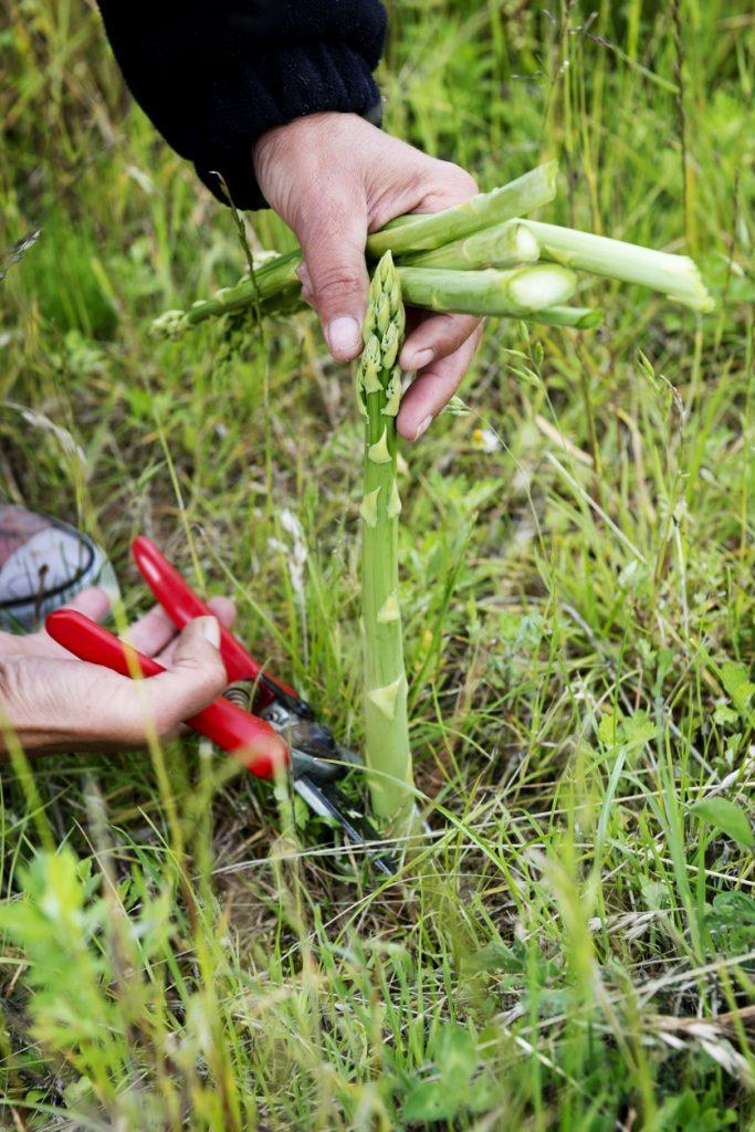 Care of asparagus