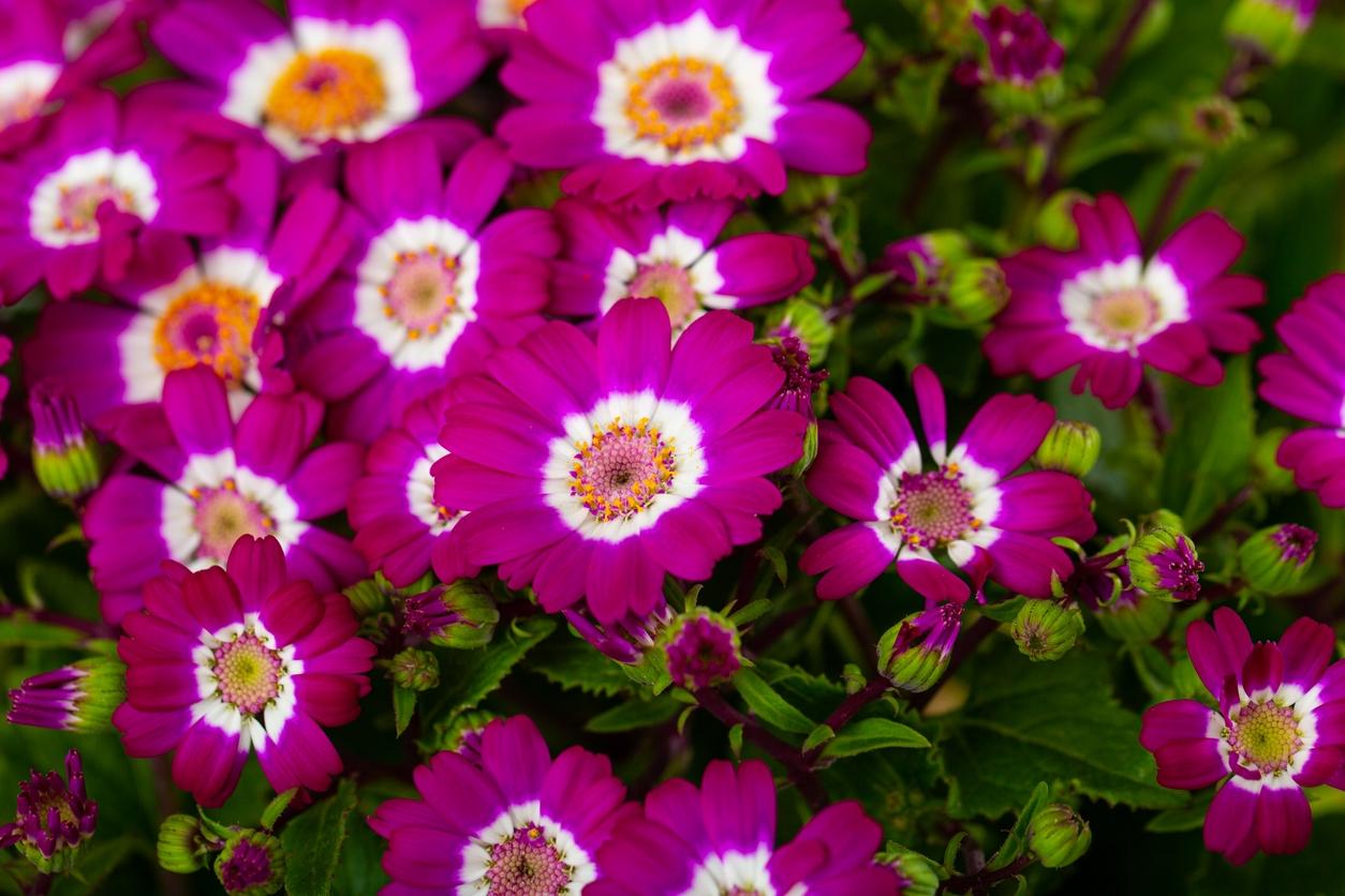 Cineraria plant care