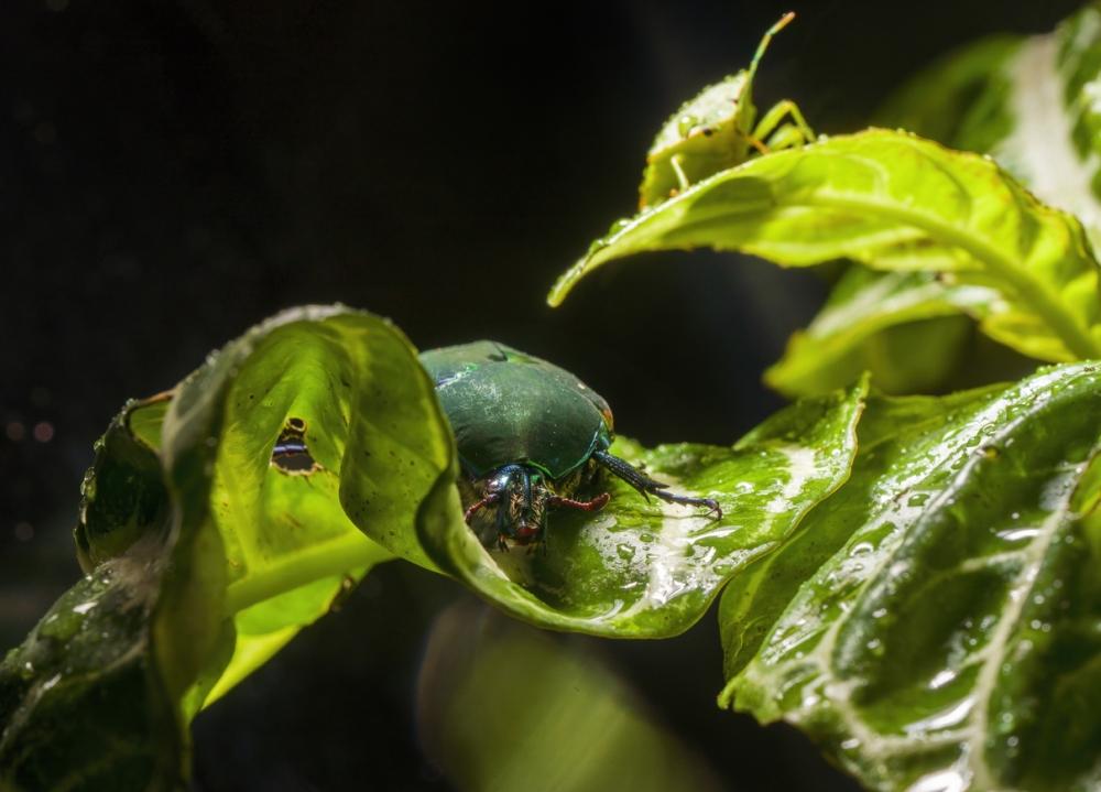 Figeater Beetle Infestations