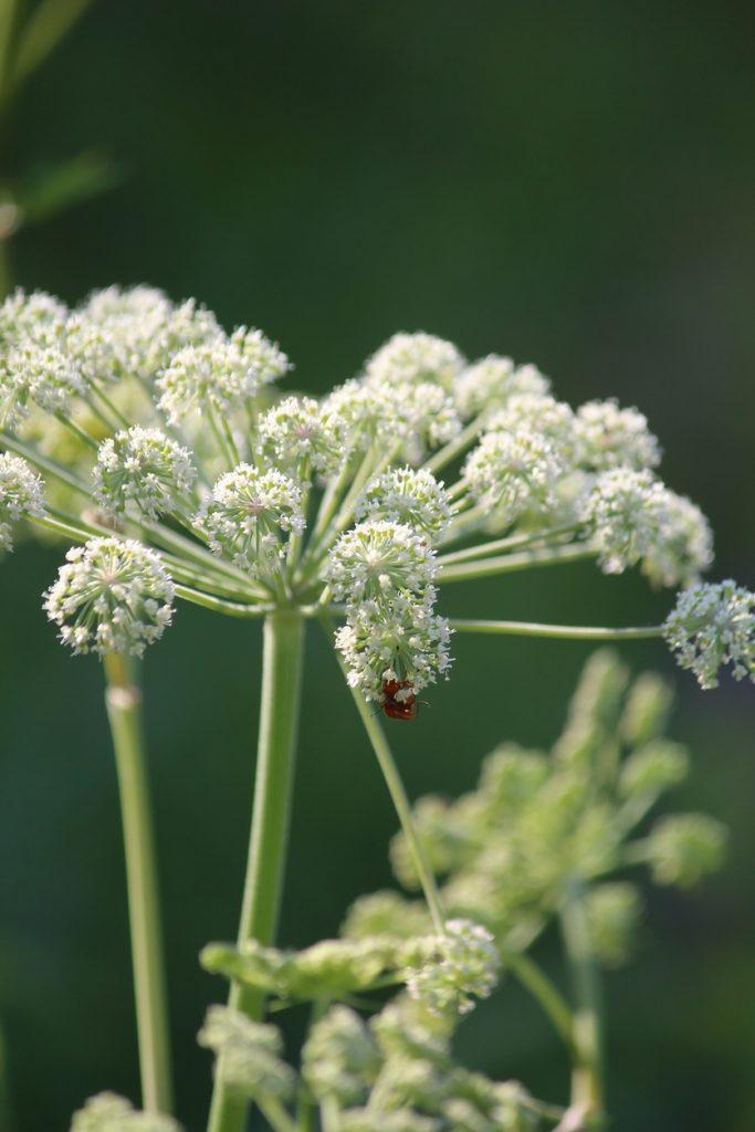 Grow angelica herb