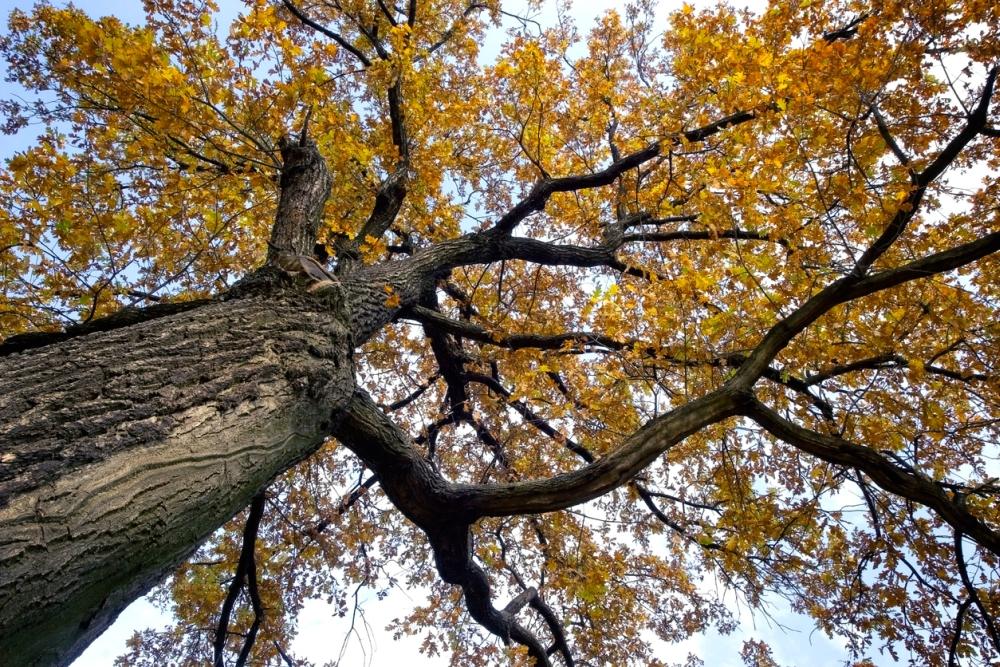 Oak Tree Growing Problems