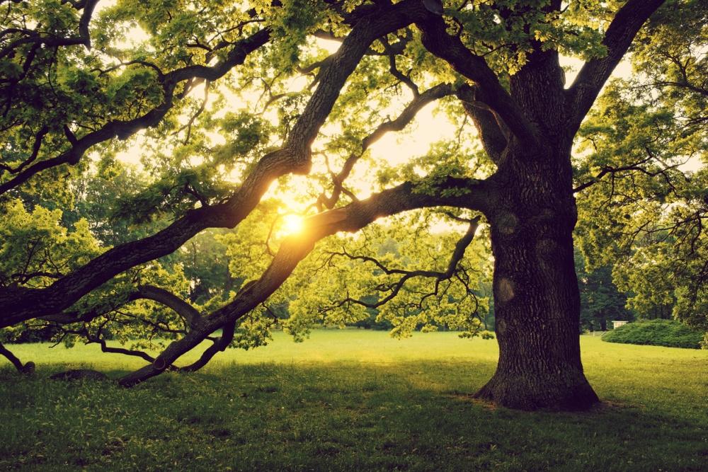 Oake tree care