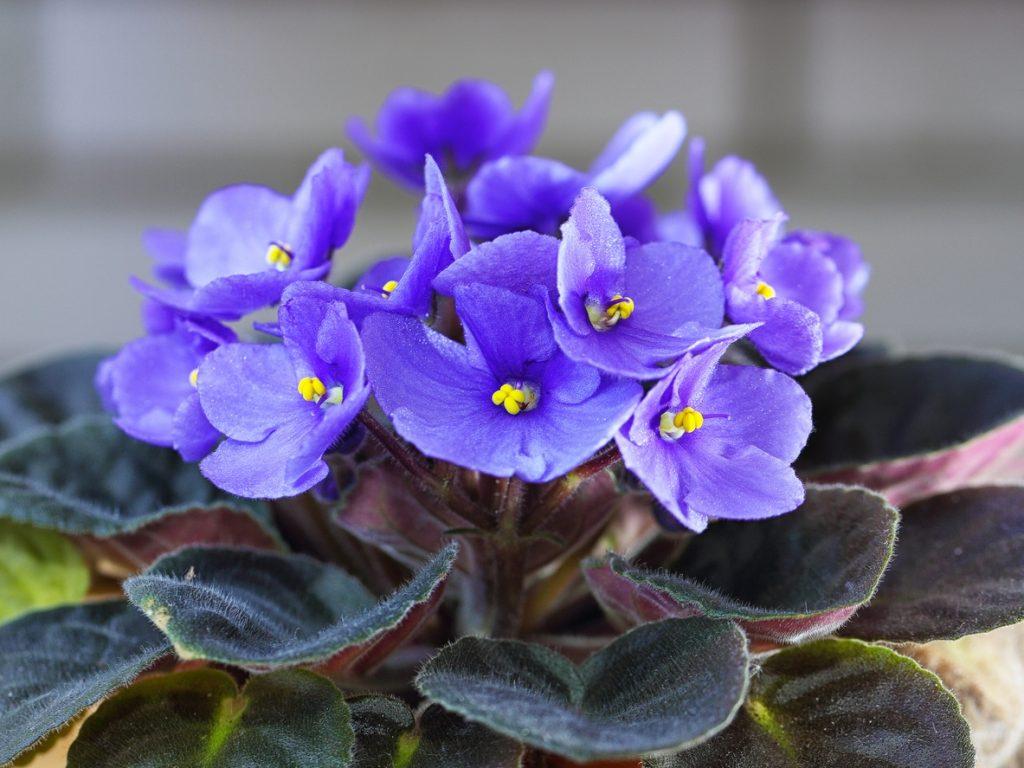 Violet purple african