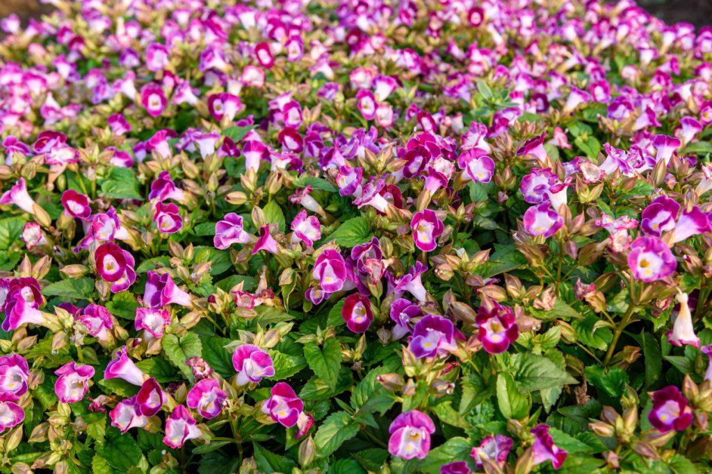 Wishbone flower care