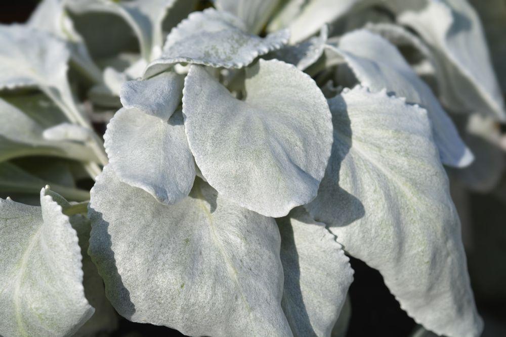 Angel wings plant (2)