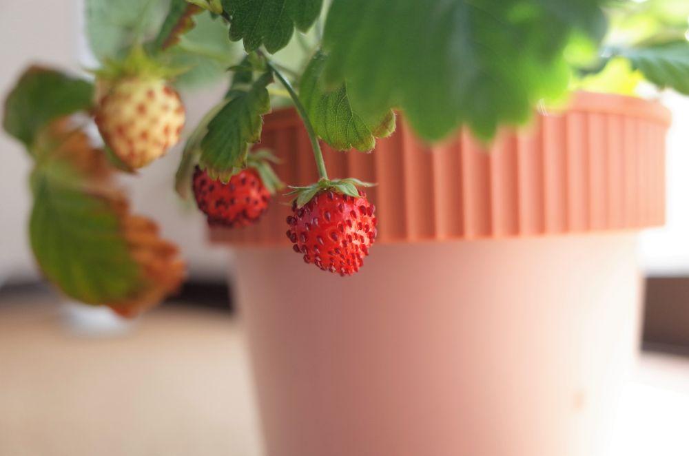 Berries pot (4)