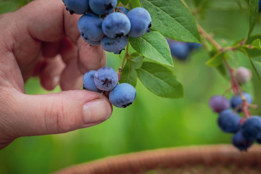 Blueberry problems (3)
