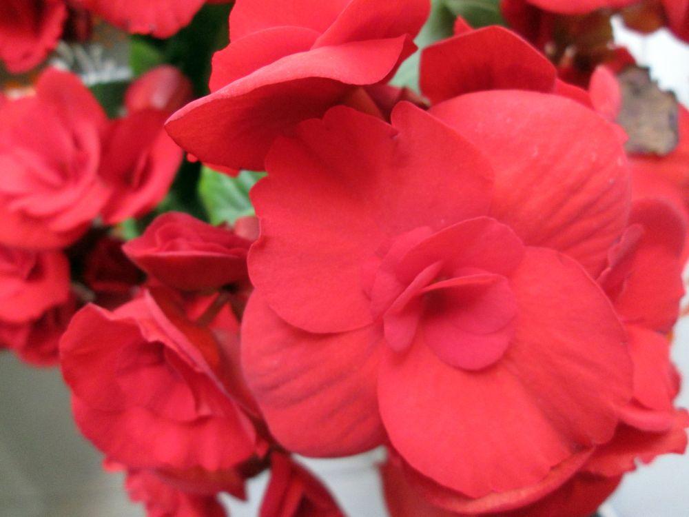 Tuberose begonia (4)