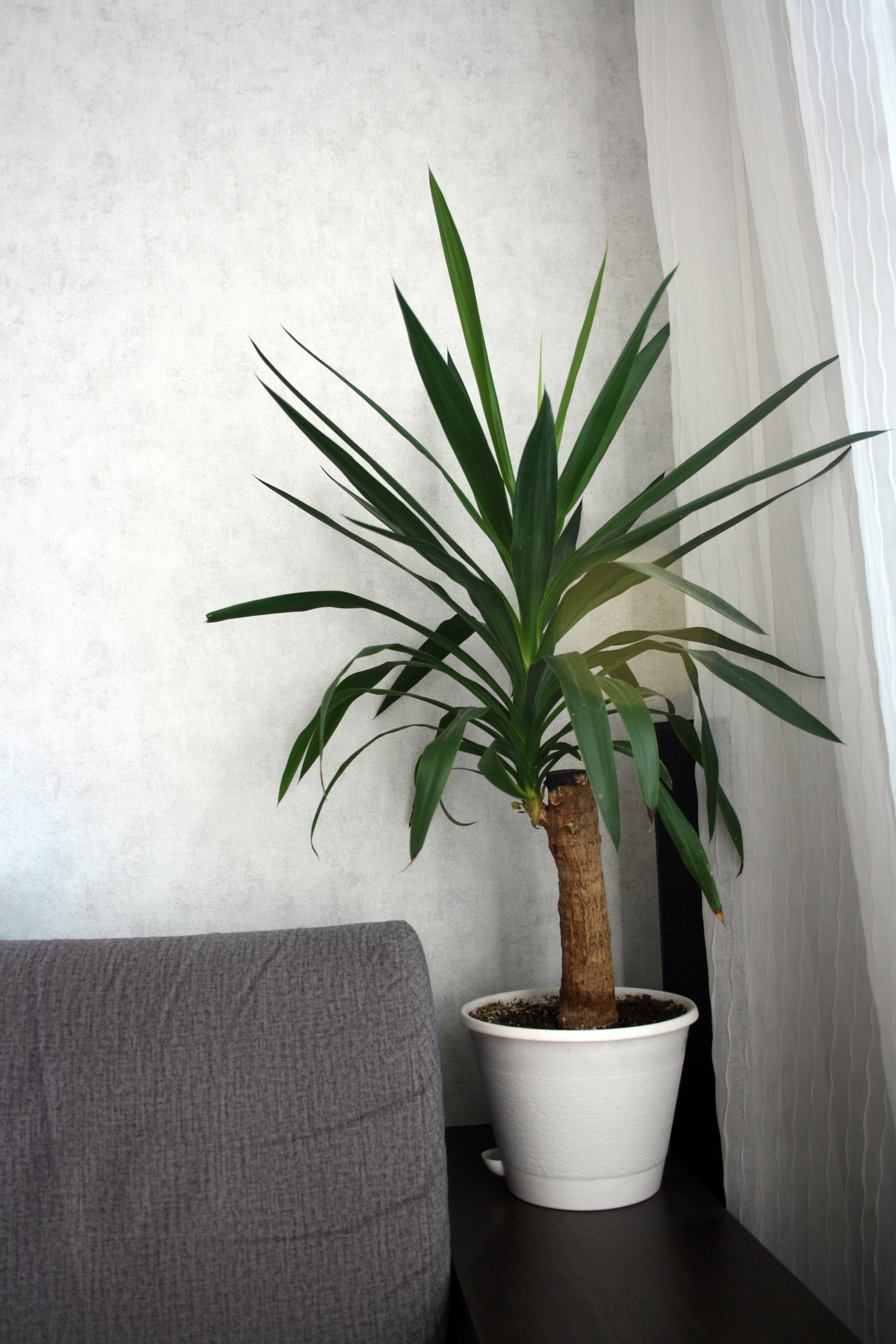 Yucca a houseplant against a white wall a plant on the armrest of a gray sofa