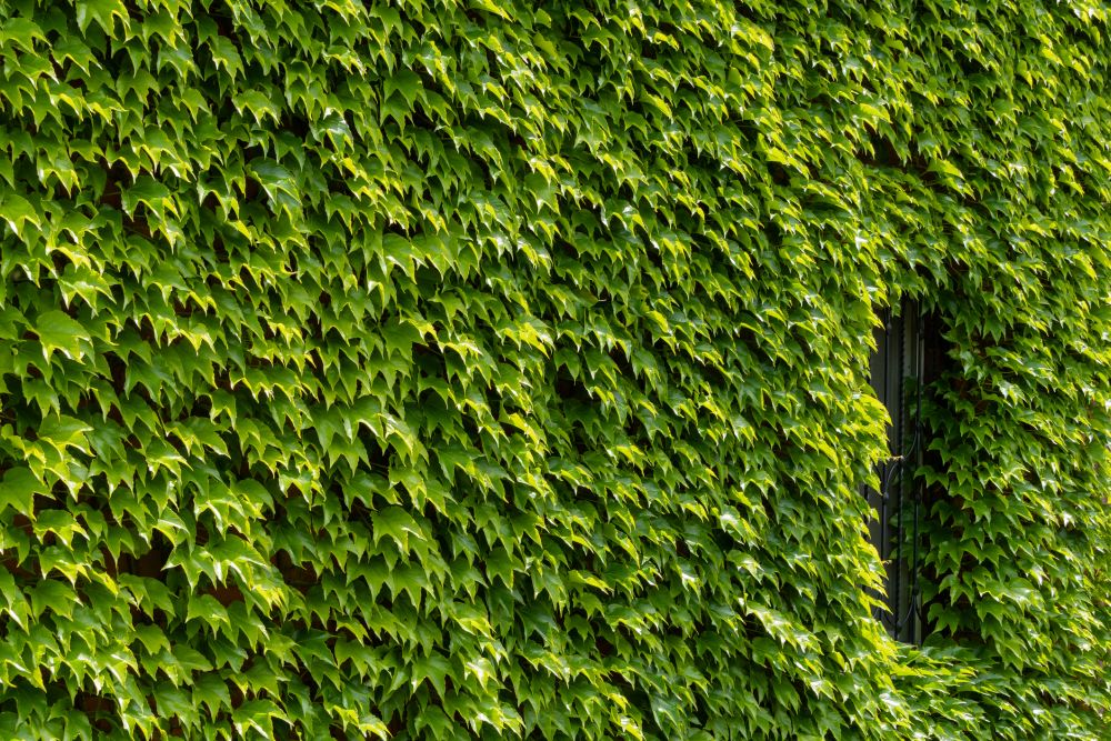 Boston ivy (2)