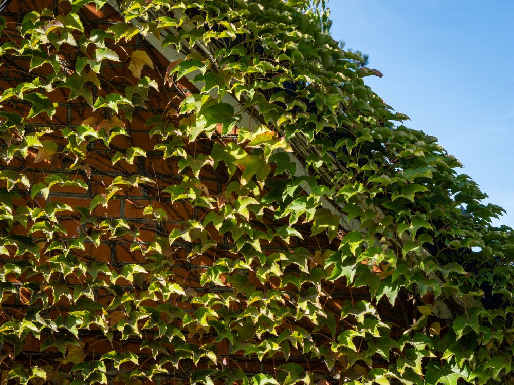 Boston ivy (3)
