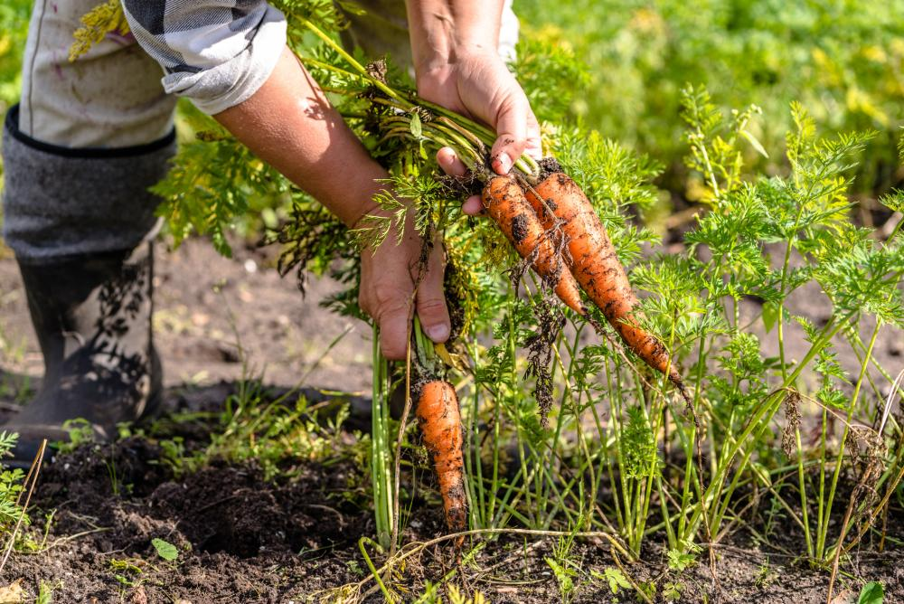 Carrot growing problems (2)