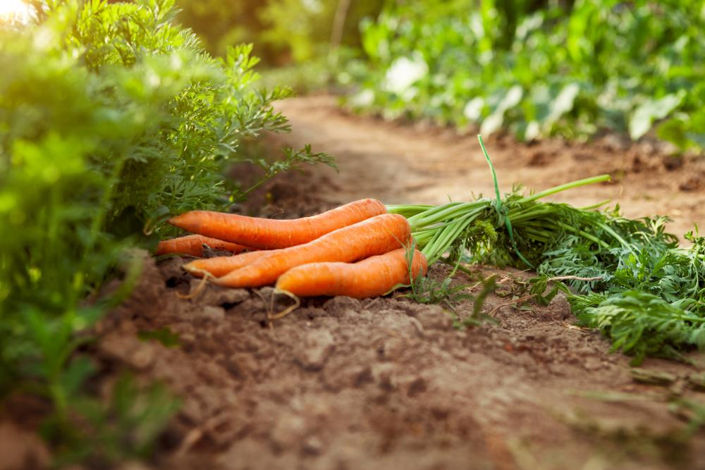 Carrot growing problems (4)