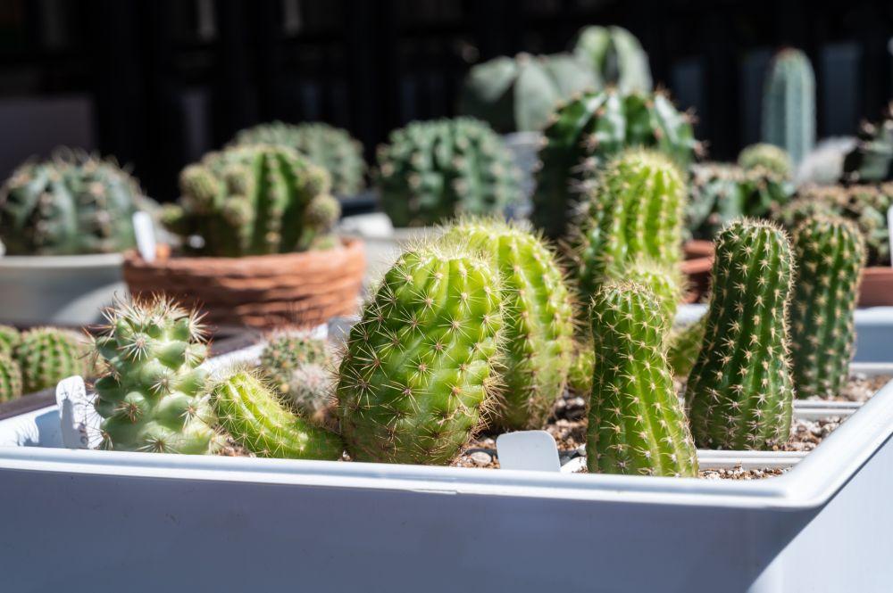 Etiolated succulents (1)