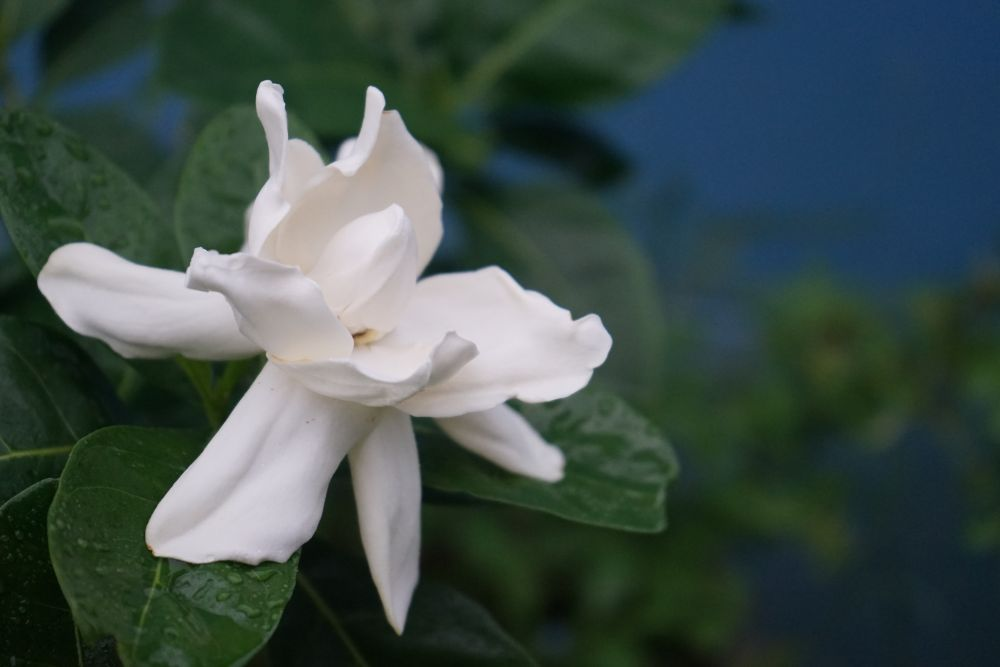 Gardenia plants (1)