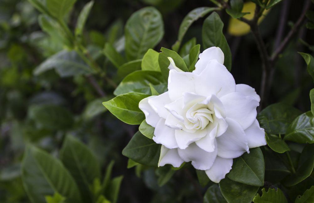 Gardenia plants (2)