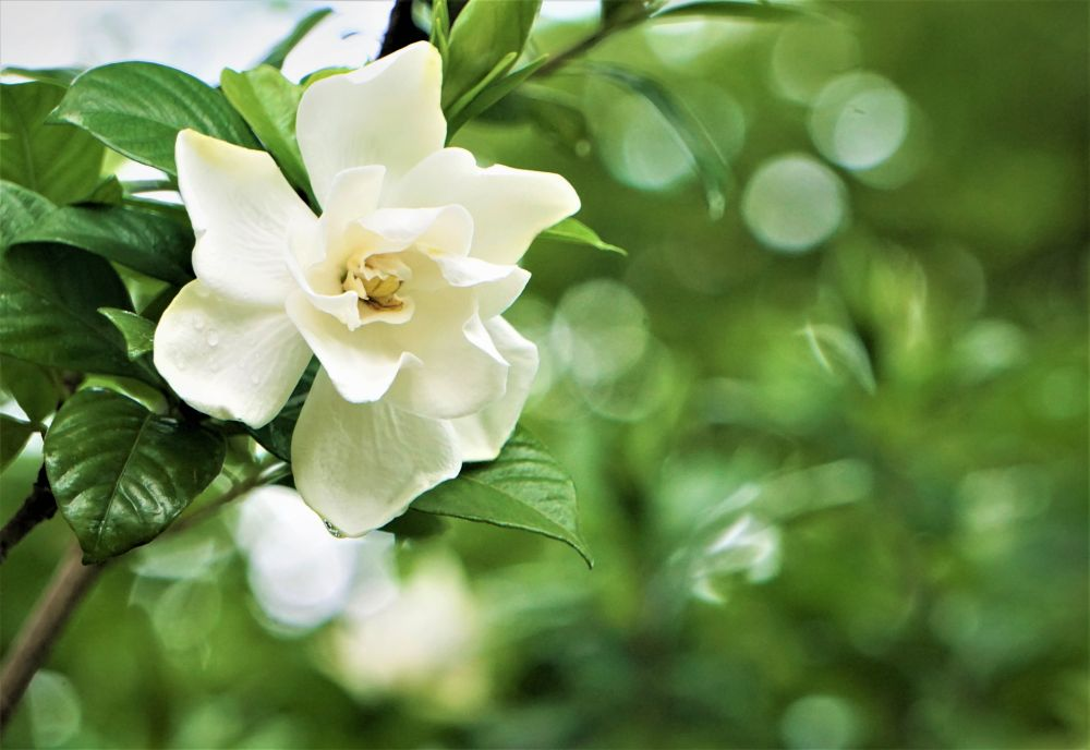 Gardenia plants (3)