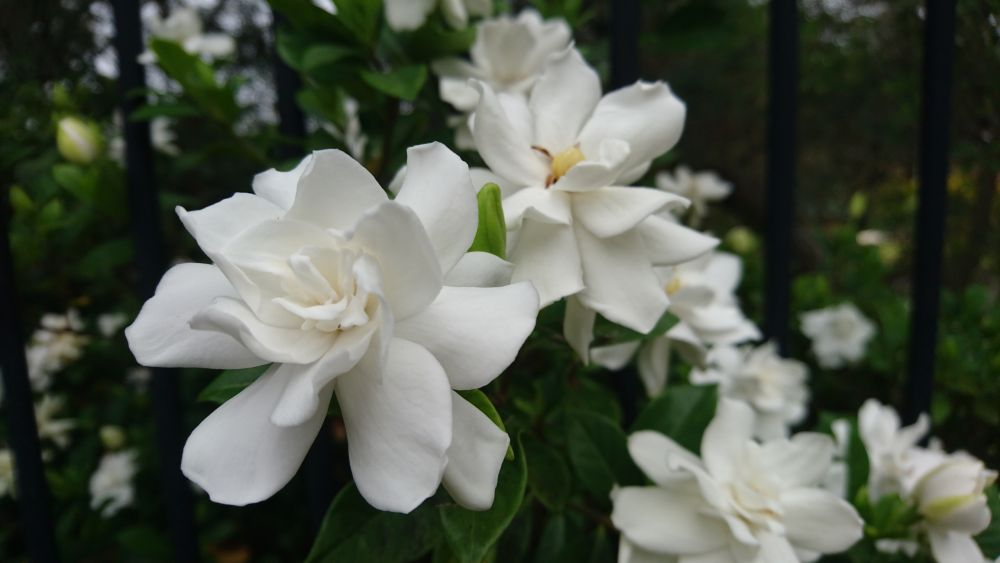 Gardenia plants (4)