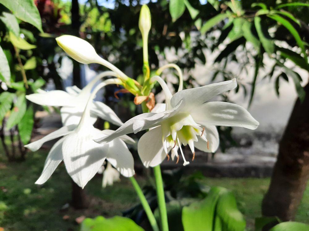 Amazon lily (1)