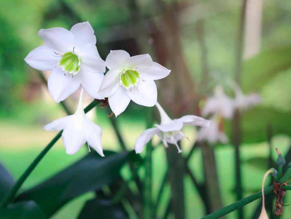 Amazon lily (2)