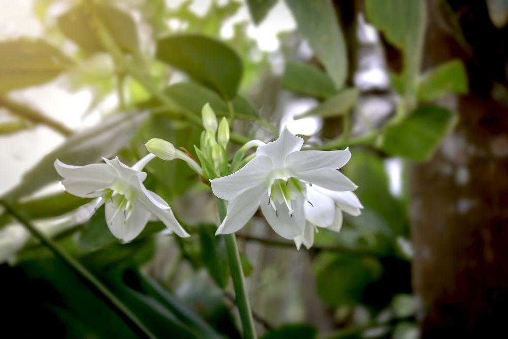 Amazon lily (3)