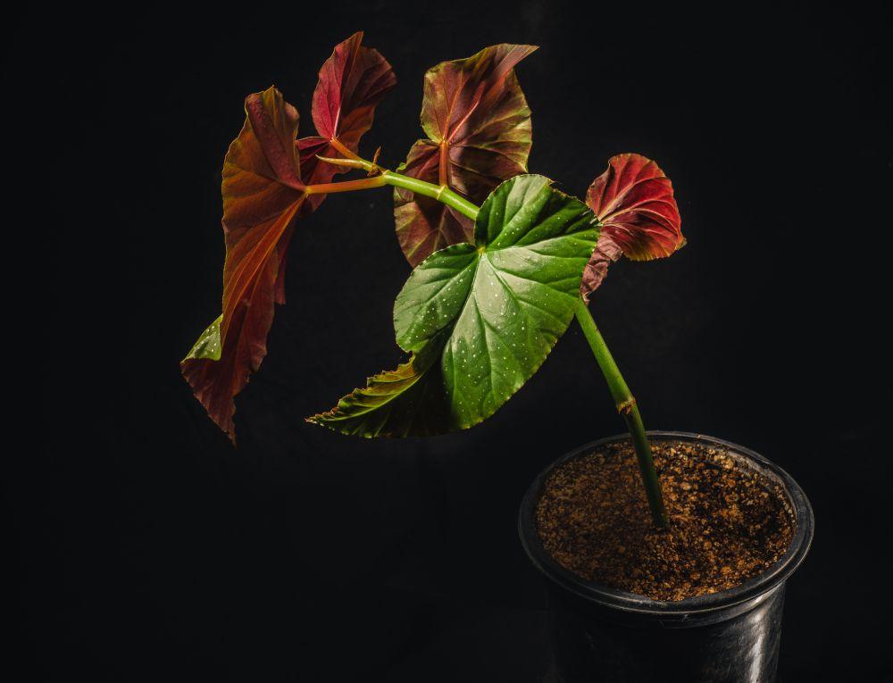 Angel wing begonia (1)