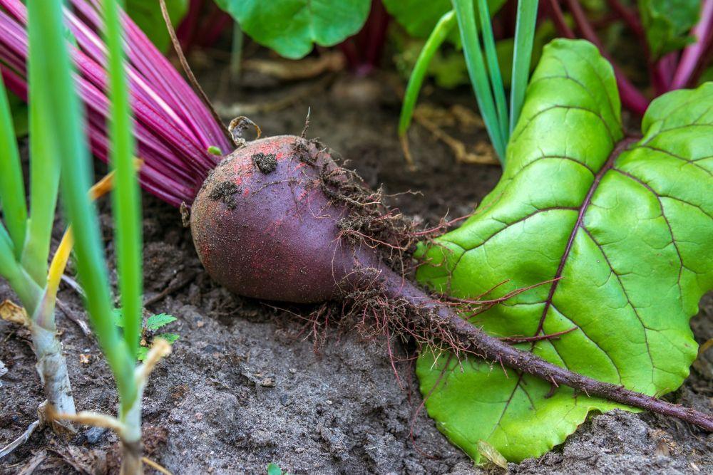 Beet growing problem (6)