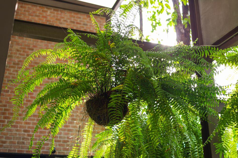 Boston fern problems (1)