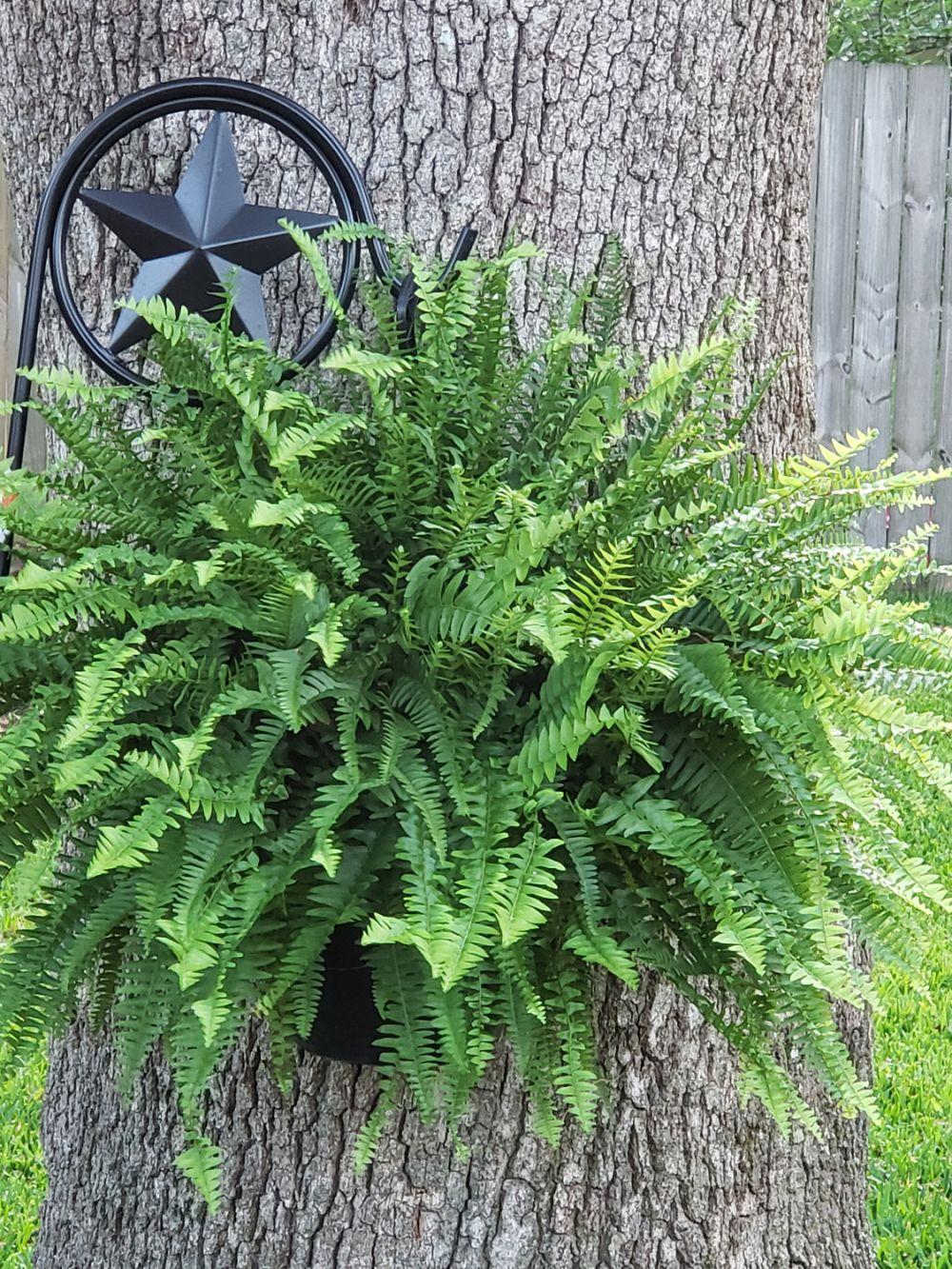 Boston fern problems (2)