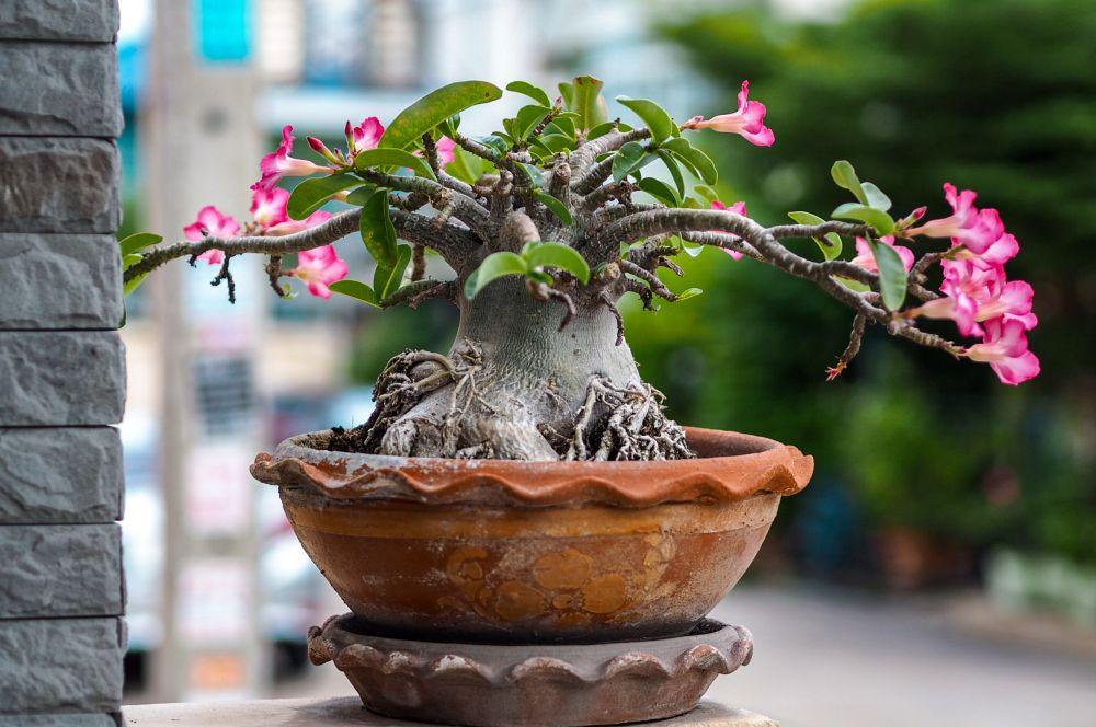 Desert rose (3)
