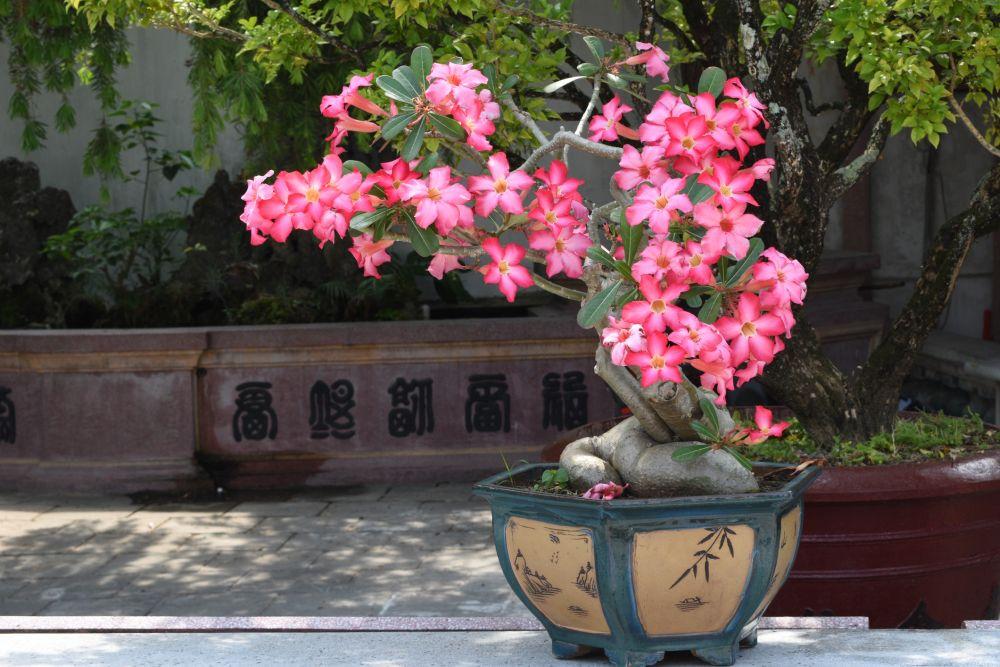 Desert rose (4)