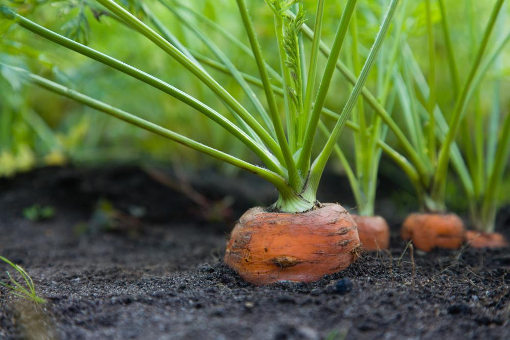 Grow and harvest carrots (2)