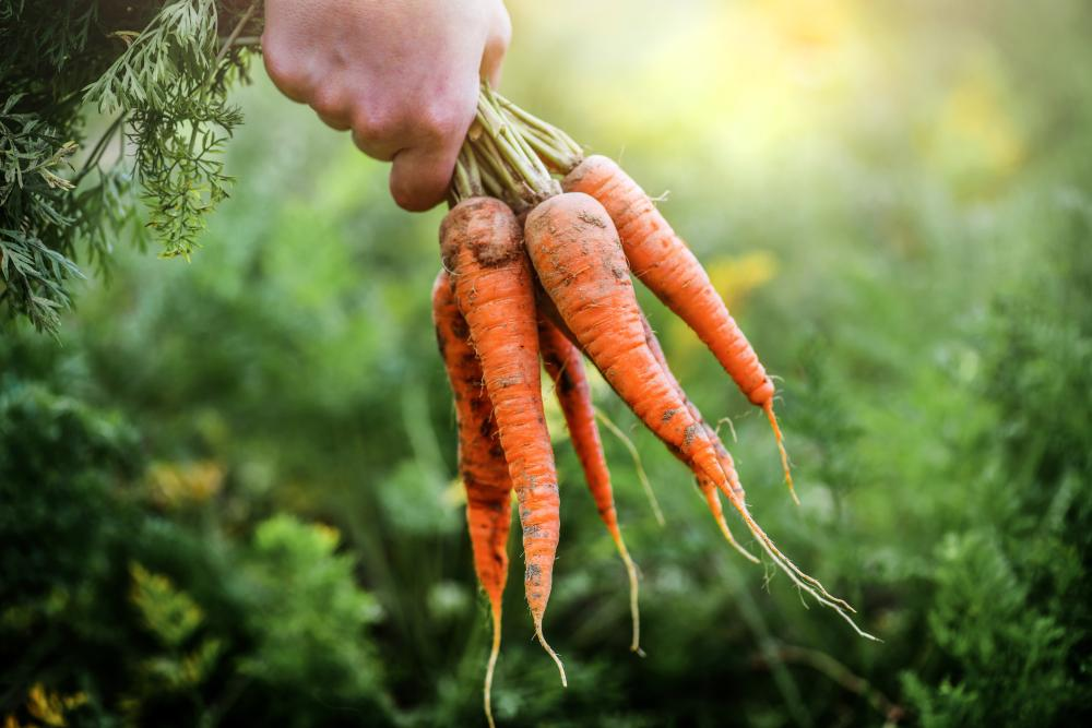 Grow and harvest carrots (3)