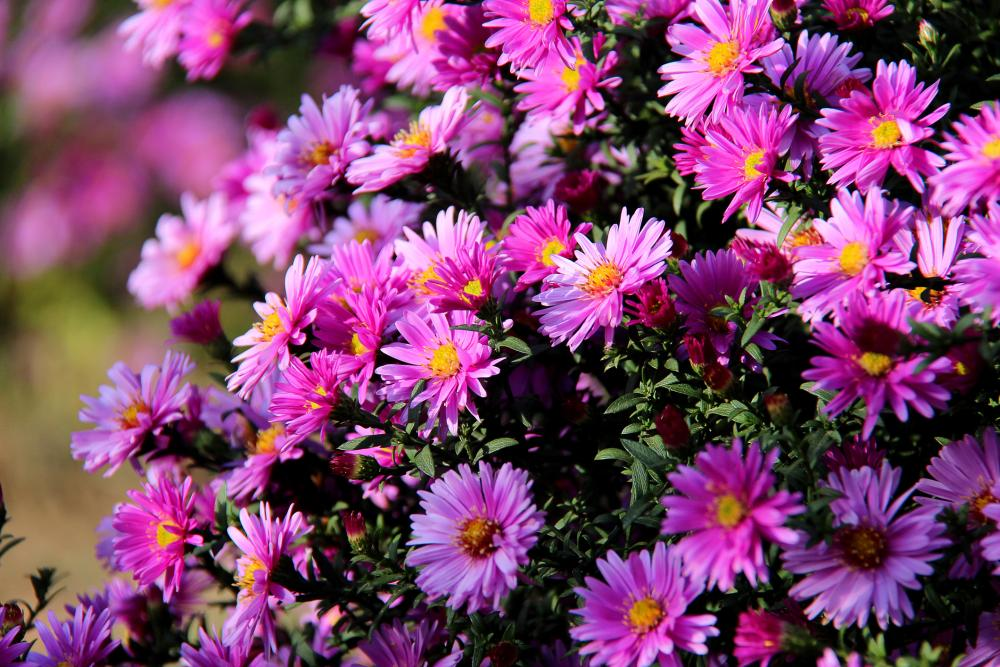 How to grow asters (1)