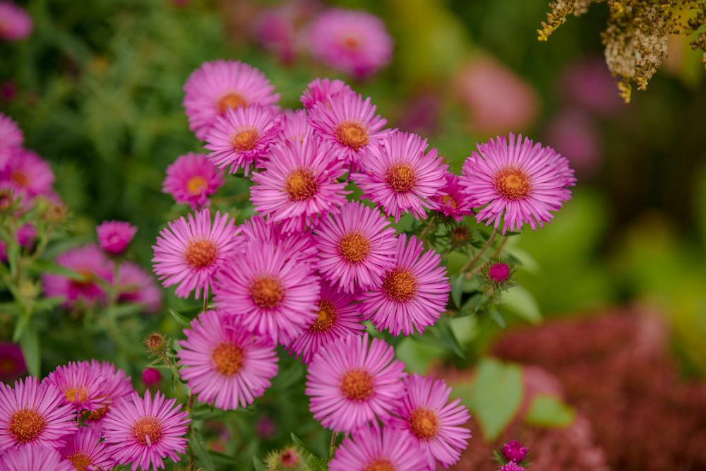 How to grow asters (2)