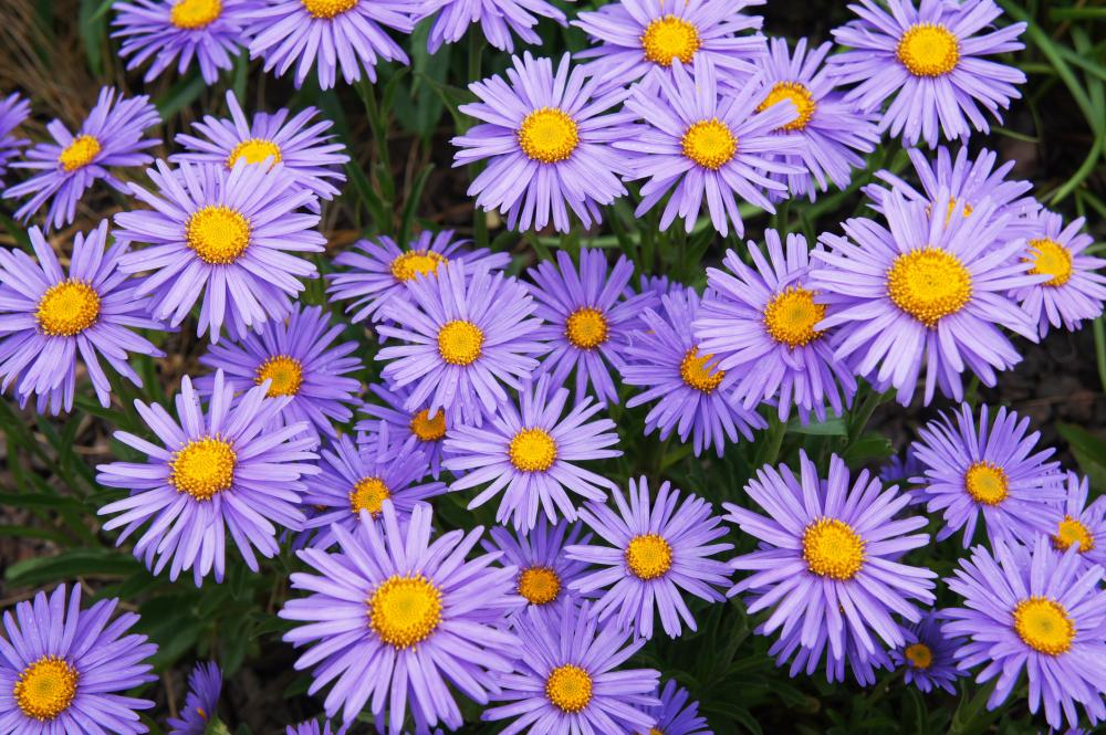 How to grow asters (3)
