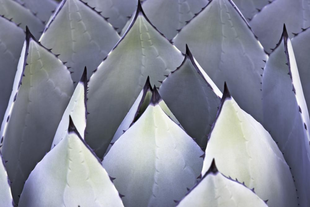 Black spined agave