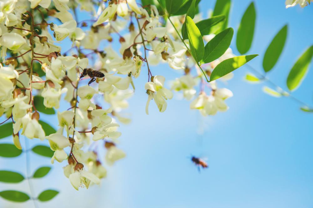 Acacia Growing Problems