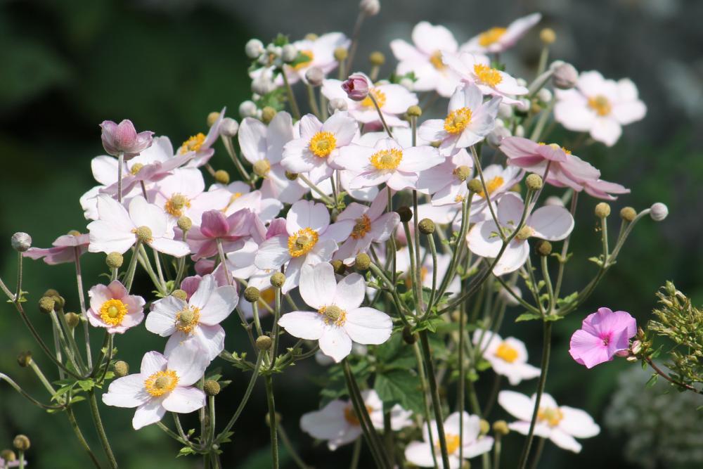 Anemone Varieties