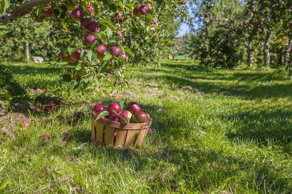 Apple Tree Growing Problems
